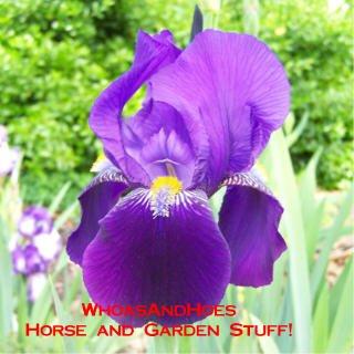 Deep purple bearded iris easy to grow perennial Drought Tolerant Deer Resistant