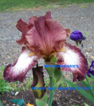 """STOP THE MUSIC"" bearded iris easy to grow Stunning flowers Drought tolerant"