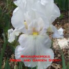 """ANGELIC WINGS"" Tall bearded reblooming iris EASY TO GROW! Drought and deer resistant!"