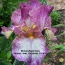 """Decolletage"" Historic Reblooming Tall Bearded Iris GORGEOUS"