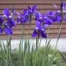 Siberian iris drought tolerant, deer resistant perennial, easy to grow