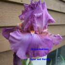 "Freshly dug ""Persian Berry"" Tall Bearded Iris, perennial, easy to grow"