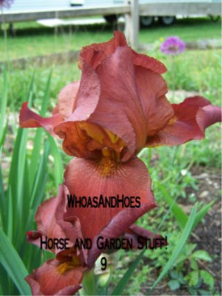 Red bearded iris, perennial, easy to grow, drought and deer resistant