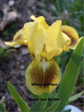 """Standard Dwarf Bearded Iris, """"Double Byte"""" Reblooms in zone 9 spreads FAST!"""