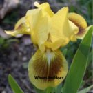 "Standard Dwarf Bearded Iris, ""Double Byte"" Reblooms in zone 9 spreads FAST!"