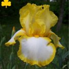 Canary yellow and crisp white bearded iris, easy to grow perennial