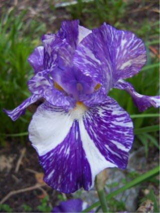 Batik Border Bearded Iris with broken color Easy to Grow Perennial Showy!