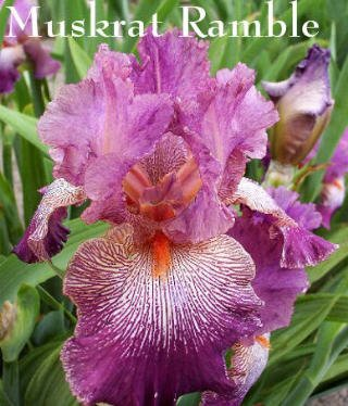 "Tall Bearded Iris ""MUSKRAT RAMBLE"" GORGEOUS!"