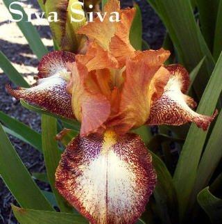 SIVA SIVA  Tall Bearded Iris
