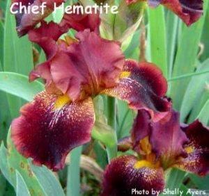 CHIEF HEMATITE  Tall Bearded Iris
