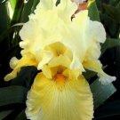 JULY YELLOW **REBLOOMING** Tall Bearded Iris