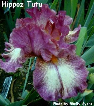 HIPPO'Z TUTU Award winning Tall Bearded Iris, KASPEREK, '96