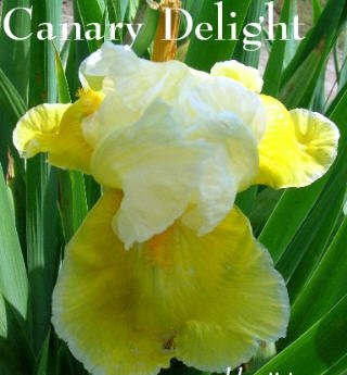 CANARY DELIGHT ***REBLOOMER*** Tall Bearded Iris