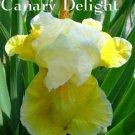 CANARY DELIGHT ***REBLOOMER*** Tall Bearded Iris