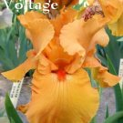 VOLTAGE Tall Bearded Iris ORANGE SELF reddish beard, slight fragrance
