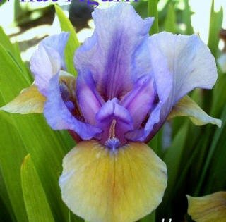 WHAT AGAIN Standard Dwarf Bearded Iris SDB, wisteria blue and yellow