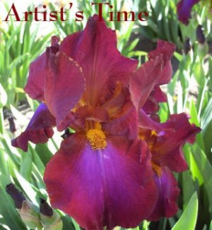 ARTIST'S TIME tall bearded iris RED-VIOLET