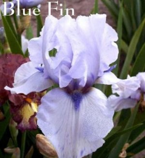 BLUE FIN Tall Bearded Iris SPACE AGE Wisteria blue
