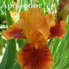 APOLLODORUS Tall Bearded Iris