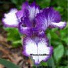 RARE EDITION Intermediate Bearded Iris EXTEND YOUR BLOOM SEASON!