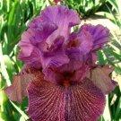 SOUTHWEST TATTOOED LADY Tall Bearded Iris
