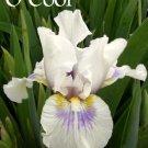 O'COOL Intermediate Bearded Iris, perennial, drought tolerant