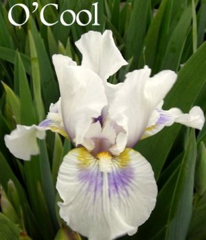 O'COOL Intermediate Bearded Iris, perennial, drought tolerant