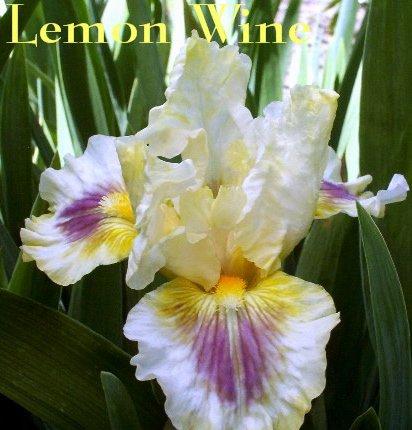 LEMON WINE intermediate bearded iris