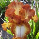 DESERT RENEGADE  Tall Bearded Iris
