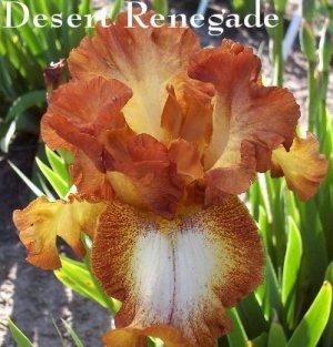 DESERT RENEGADE  Tall Bearded Iris