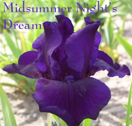 MIDSUMMER'S NIGHT DREAM Intermediate Bearded Iris, nice border perennial