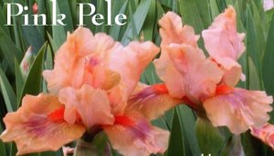 PINK PELE Intermediate Bearded Iris, glows like lava!