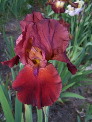 SAMURAI WARRIOR Tall Bearded Iris