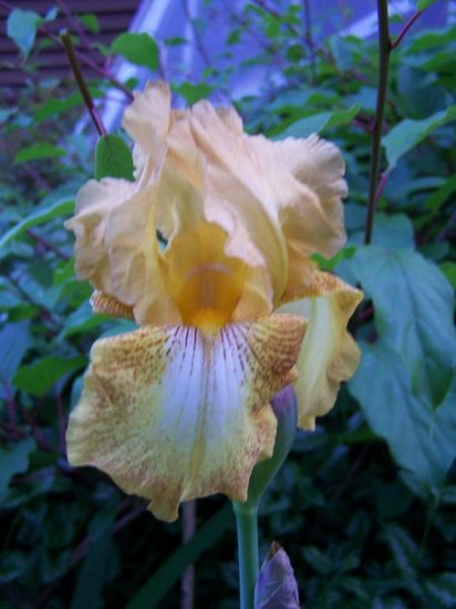 SEPTEMBER REPLAY Tall Bearded Iris REBLOOMER!! Early bloom drought tolerant perennial