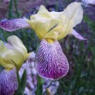Historic Tall Bearded Iris GRACCHUS very cute