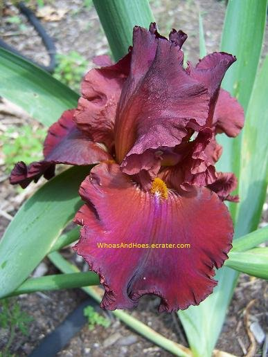 HOUSE AFIRE Tall Bearded Iris BRILLIANT, GLOWING RUSTY RED
