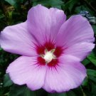 ALTHEA Shrub 1 ft. tall,