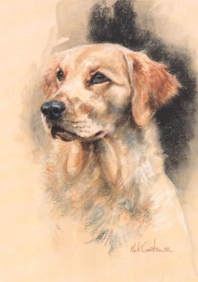 Golden Retriever (Head Study)