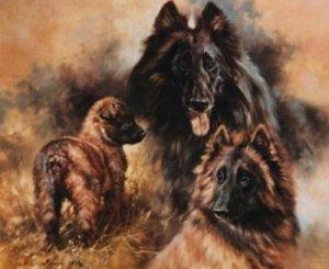 Belgium Shepherd