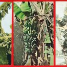 Lot of 3 Vintage Postcards FORMOSA Taiwan Under Japanese Rule Banana #EF8