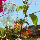 Blue-eyed Dragonfly earrings