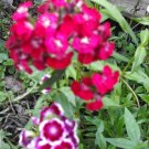 Beautiful Multi~Color Sweet William Seeds, Perennial 100+ Seeds