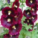 Hollyhock Seeds, Rich Burgundy/Wine*70 Fresh Seeds*Plant Now*