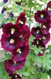 Hollyhock Seeds, Rich Burgundy/Wine*70 Fresh Seeds*Plant Now*