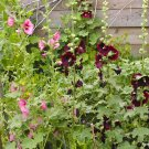 Hollyhock Seeds Country Garden Collection, 30 Each, 90 Seeds