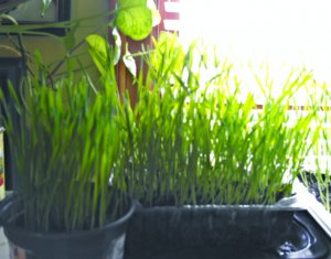 Organic Wheatgrass Seeds*For Juicing Or Cats Health*SPECIAL OFFER 240 SEEDS*