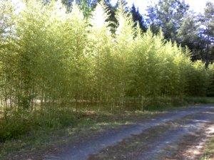 Golden Bamboo Plants Rhizome 3 feet