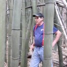 Bamboo Plants Japanese Timber Bamboo 3 feet Rhizome