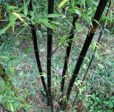 Black  Bamboo Plant Rhizomes