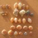 lOT 33 NATURAL SEASHELLS SEA SHELL Conch Cypraea ISRAEL